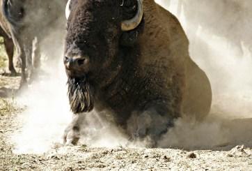 VIDEO: Bisonte ataca a mujer por acercarse a su cría