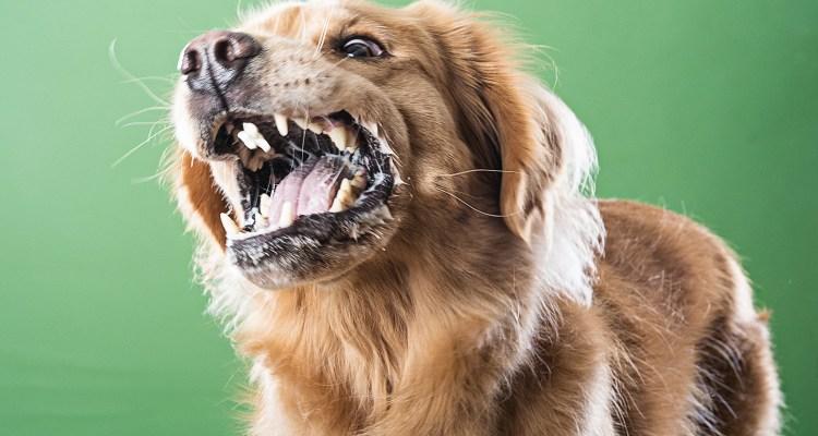 perro agresivo ladrando