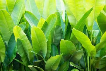 Latinos crean platos biodegradables hechos con hojas de plátano