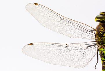 Hay tantas libélulas que aparecen en el radar meteorológico del este