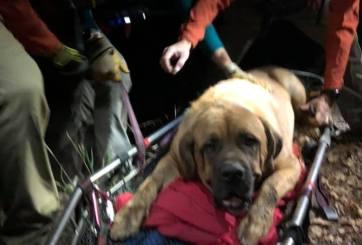 Perro gordo tuvo que ser rescatado de excursión porque ya no pudo más