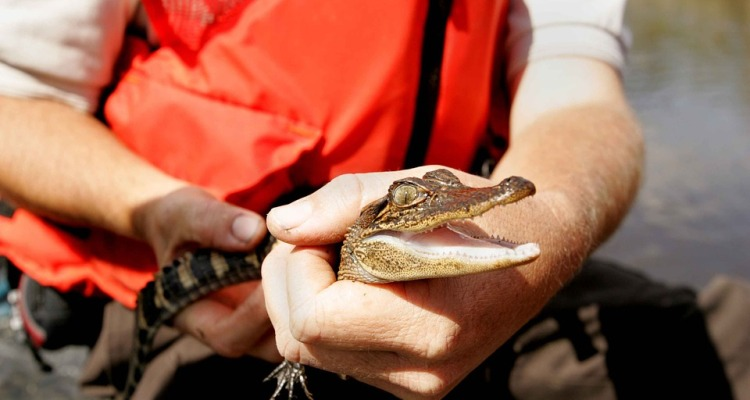 Arrestan hombre de Florida por forzar a pequeño caimán a beber cerveza