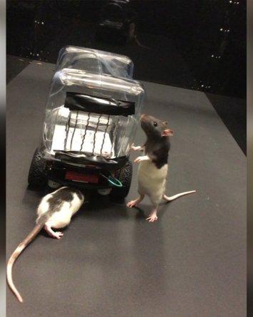 Ratas operan mini-autos en busca de la cura contra enfermedades mentales