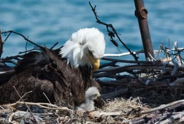 Regresan águilas calvas a reserva de Ohio para el invierno