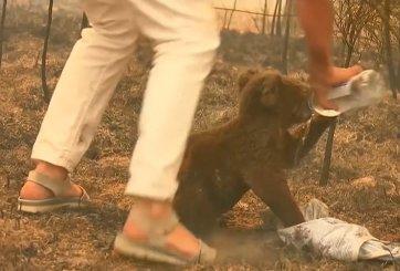 Muere el koala «Lewis» que fue rescatado de incendio masivo en Australia