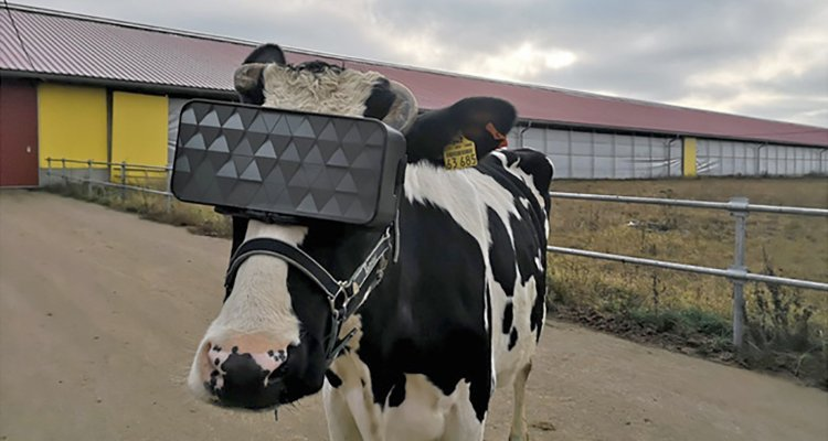 FOTOS: Vacas usan lentes de realidad virtual para mejorar su leche