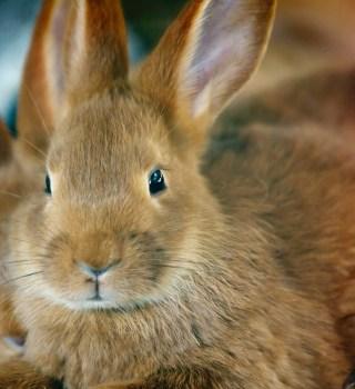 Declaran al conejo como especie en peligro de extinción