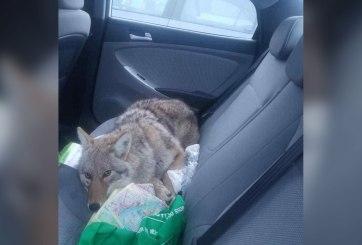"""Atropella a """"perro"""" y lo rescata, en realidad era un coyote"""