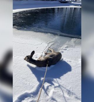 Oficial rescató a venado de estanque congelado con lazo estilo vaquero