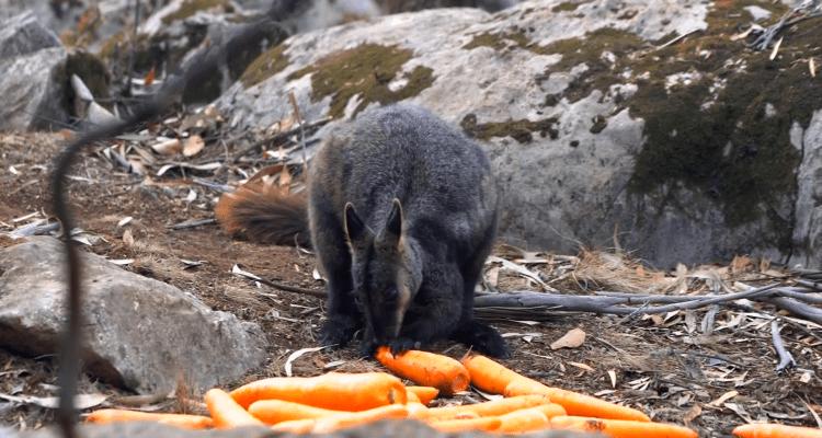 Lanzan zanahorias y batatas para alimentar a animales en Australia