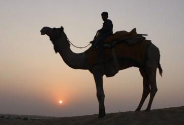 10 mil camellos salvajes serán sacrificados en Australia por la sequía