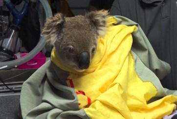 Casi 500 millones de animales afectados por incendios en Australia