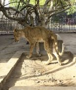 leones desnutridos