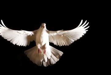 Paloma blanca visita el altar de niño atropellado en vísperas de Navidad