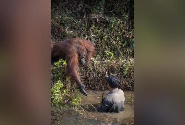Orangután ofrece ayuda a hombre dentro de agua infestada de serpientes