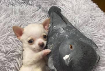 VIDEO: Paloma y Chihuahua derriten corazones con su amistad