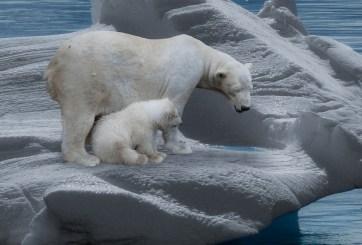 Incrementa el canibalismo entre osos polares por culpa de los humanos