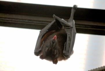 Los murciélagos no causaron el Coronavirus, fueron los humanos