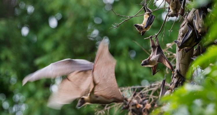 Atacan y queman murciélagos por temor a coronavirus en país sudamericano