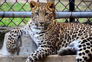 Turistas disfrutan mientras jaguares nadan encadenados en México
