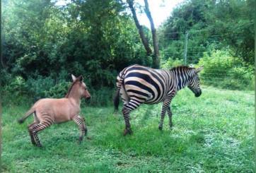 Cebra se apareó con un burro y dio a luz a un adorable burrocebra