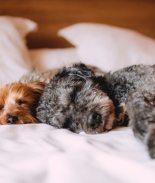 FDA advierte que mascotas pueden infectarse de coronavirus
