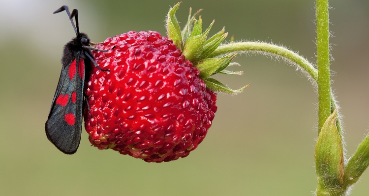 VIDEO: Tus fresas probablemente están llenas de pequeños insectos