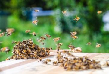 Un enjambre de abejas agresivas mató a tres perros en Arizona