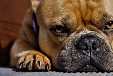 Bulldog mató a su dueña días después de haber mordido a alguien más