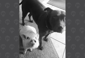 Una pitbull y una cerdita buscan hogar juntas tras muerte de su dueño