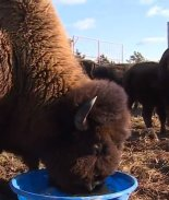 bisontes comiendo
