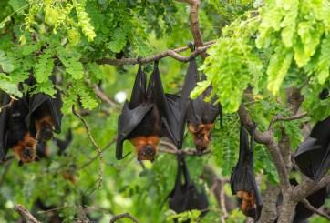 Un nuevo Coronavirus ya podría estar circulando en murciélagos