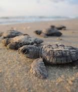 Por favor, si ves tortugas bebés en la playa ¡No te acerques!