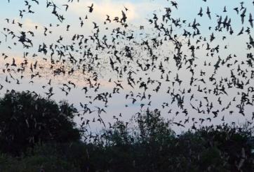 Radar de clima detectó enorme colonia de murciélagos invadiendo EE.UU.