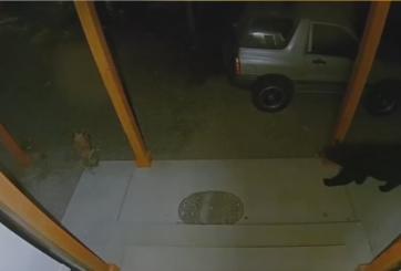 VIDEO: Oso se pasea por casa tras evacuaciones por incendio forestal