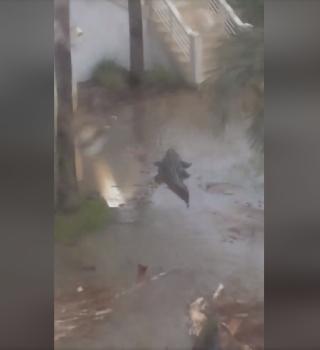 Video muestra a un caimán nadando en una marejada causada por Sally