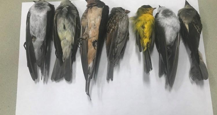 El misterioso caso de las muertes masivas de aves en Nuevo México