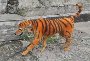 Un perrito fue pintado como tigre y las fotos están indignando en redes