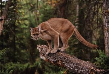 VIDEO: Atemorizante encuentro de 6 minutos entre excursionista y puma