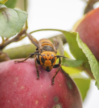 murder hornet