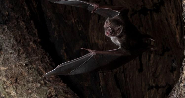 Hasta los murciélagos saben que deben distanciarse cuando se enferman