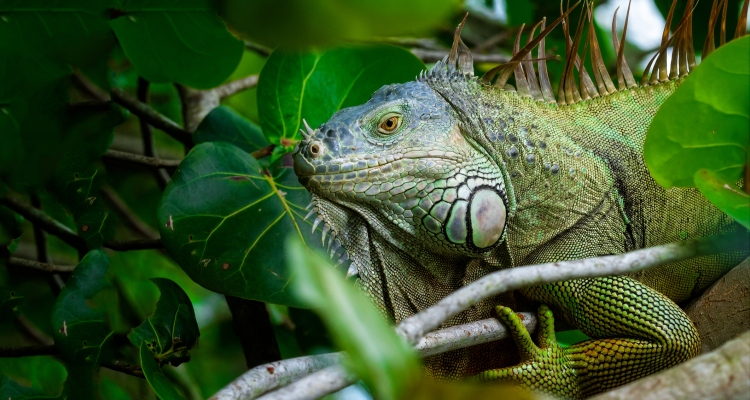 Advierten por 'lluvia de iguanas' en el Sur de Florida