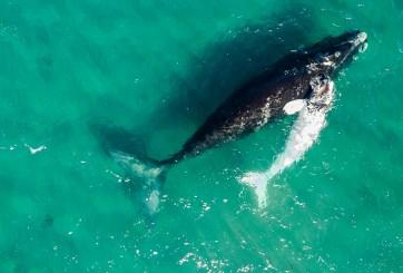 Ballenas en peligro de extinción fueron vistas en la costa de Florida