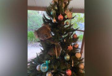 Familia encuentra un koala vivo en su árbol de Navidad