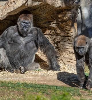 Gorilas dan positivo a COVID-19 en el zoológico de San Diego