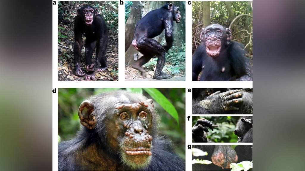 chimp leprosy